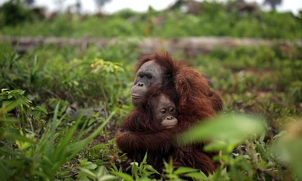 palm oil and orangutans