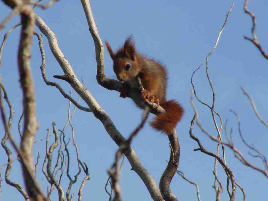 squirillo