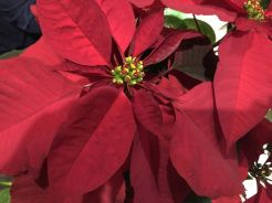 Would it be Christmas without a poinsettia?