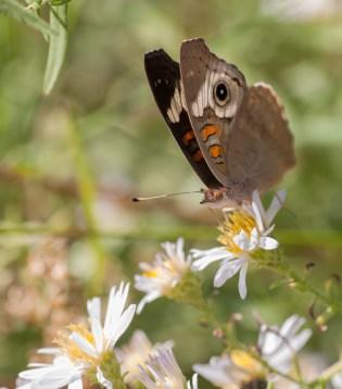 Buckeye butterfly on aster