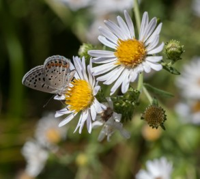 California aster and acmon blue
