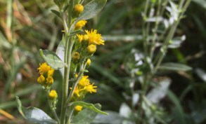 California goldenrod (Solidago californica).
