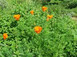 California poppy (Eschscholzia californica). Annual or Perennial. (photo: Jim Wadsworth)