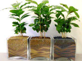 Сколько растет кофейное дерево? - Сад и огород