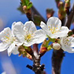 Карбофос для обработки яблонь