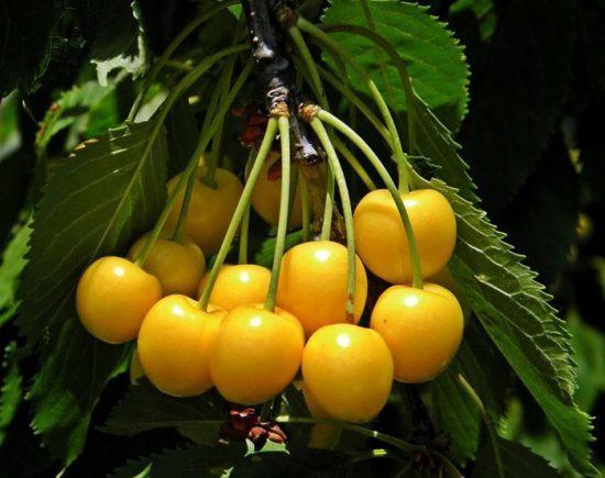 желтая черешня сорта