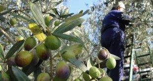 فساد مؤسسات الدولة، بما فيها وزارة الزراعة، أدى إلى انتشار العديد من الأمراض التي تصيب أشجار الزيتون - أرشيفية