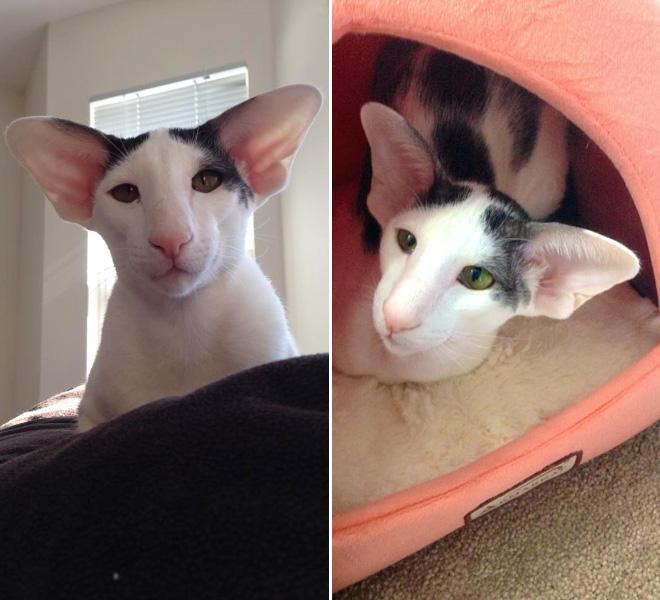 Meet Dobby Cat The Worlds Cutest House Elf