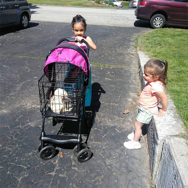 Chicken stroller in action.