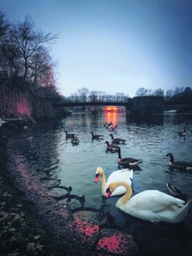 Swans at Park 3983 Saddleworth Captured - Leila Maria