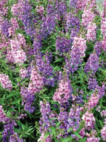 Angelonia comes in white, pink, blue and multicolor.