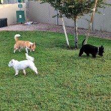 Three SaddleBrooke Dog Park buddies, left to right, Dusty, Kinzie and Dexter, enjoy the newly renovated grass. Spuds for Our Buds, a special fundraiser, will help with costs of the park; photo by Terry Johnson.