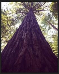 Redwood Trees in Rotorua