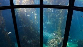 Kelp Forest at the Monterey Bay Aquarium