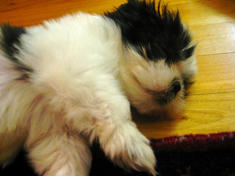Sadie Shih Tzu as a fluffy puppy sleeping
