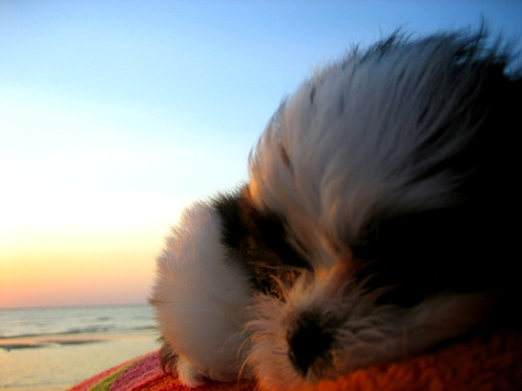 Sadie Shih Tzu lying on her person's tummy on the beach