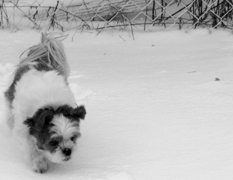 Sadie Shih Tzu in the snow