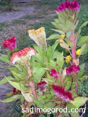 гребешки цветы 4
