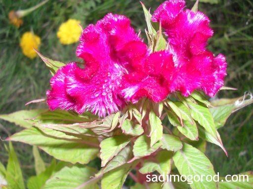 гребешки цветы 6