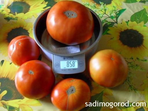 томат король гигантов 1