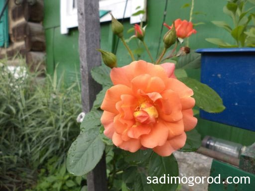 роза вестерленд 8