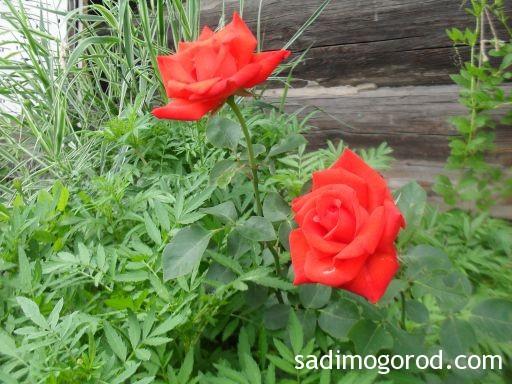 роза вестерленд 3