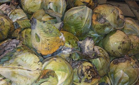 Болезни капусты при хранении фото, как хранить капусту