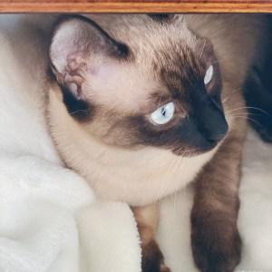 Siamese cat sitting on white blanket