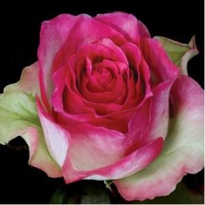 "Роза чайно-гибридная ""Малибу"""