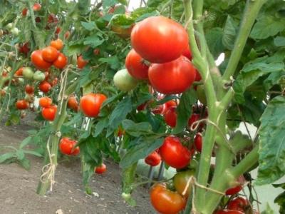 Курчавость листьев томатов: лечение желтой разновидности и ...