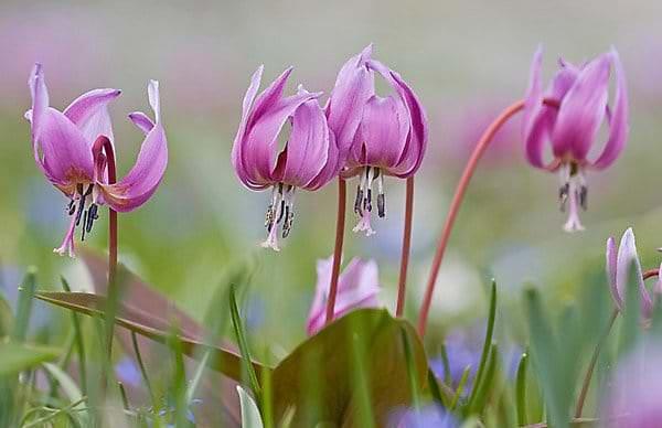 Какие цветы-многолетники посадить на Урале