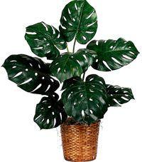Монстера — учимся правильно ухаживать за тропической лианой. Как выполнить пересадку монстеры правильно