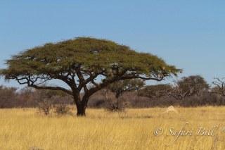 Acacia-tree_TarangireNationalPark_Tanzania