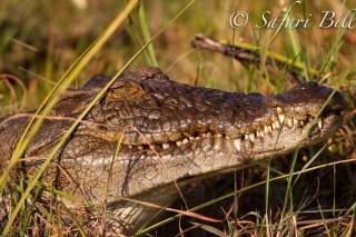 Alligator_ZambeziNationalPark_Zimbabwe
