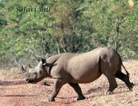 Black Rhino, Matusadona National Park, Zimbabwe