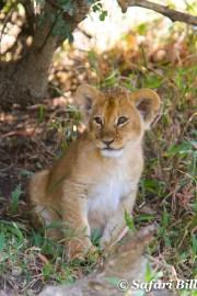 Lion cub, Serengeti National Park, Tanzania