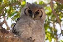 Owl, Hwange National Park, Zimbabwe