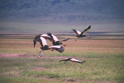 Grullas coronadas en Ngorongoro. Tanzania, abril de2004
