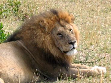 León. Masai Mara, Kenya. Septiembre de 2006