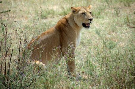 Leona en Serengeti. Tanzania. Julio de2007