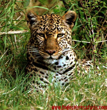 Leopardo. Masai Mara, Kenya, septiembre de 2007