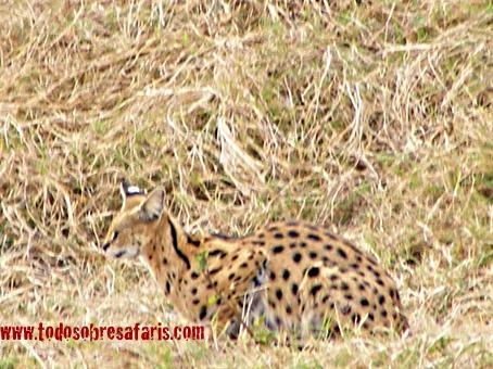 Serval. Cráter de Ngorongoro. Tanzania. Agosto de 2007
