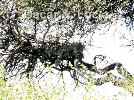 leopardo-b