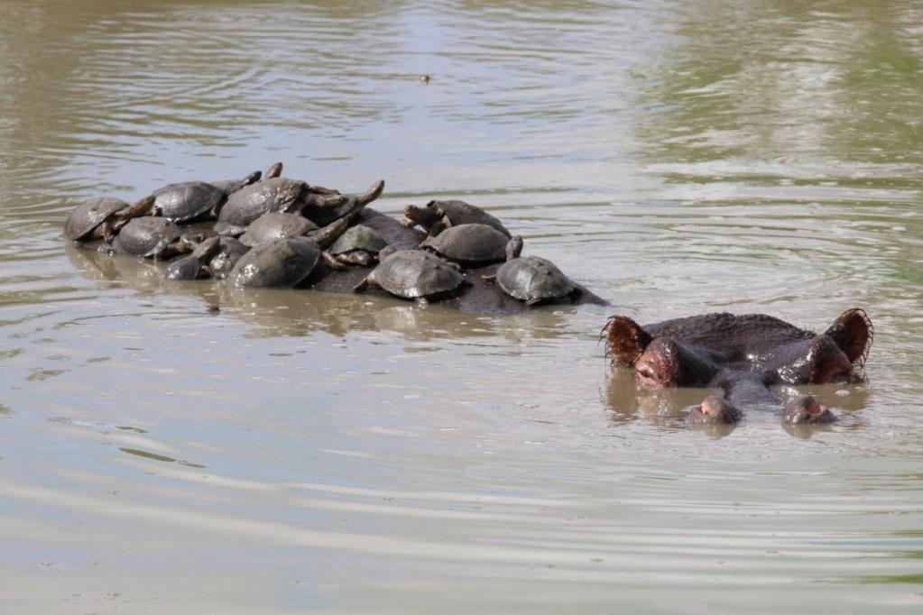 Hippo Schildkröten