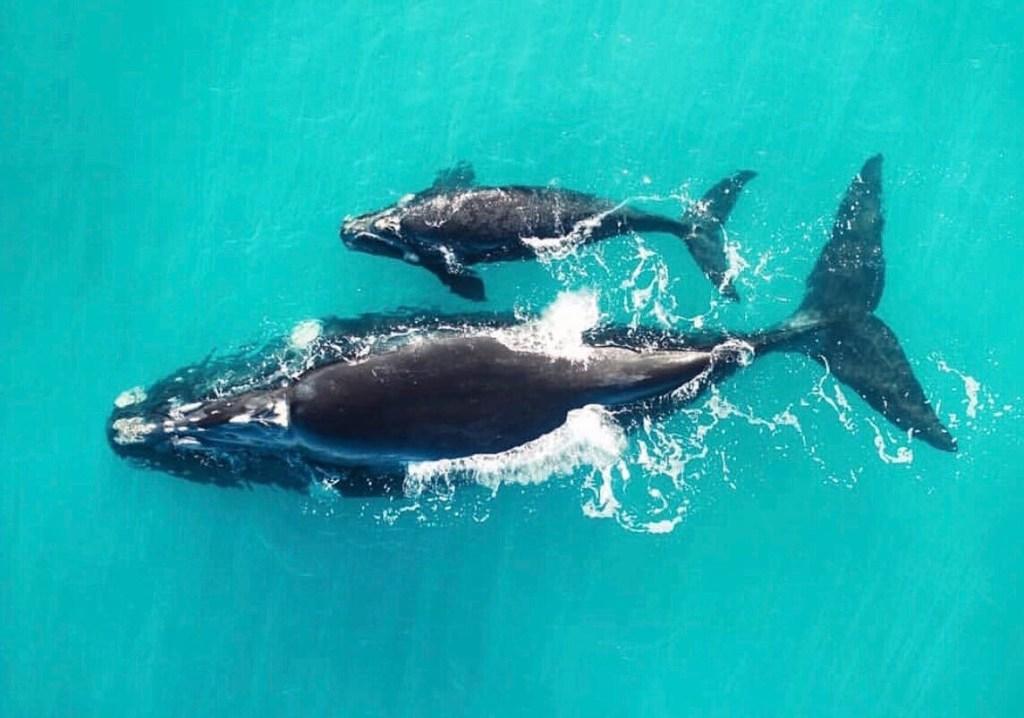 Südlicher Glattwal, Südkaper Kalb mit Nachwuchs - Southern Right Whale