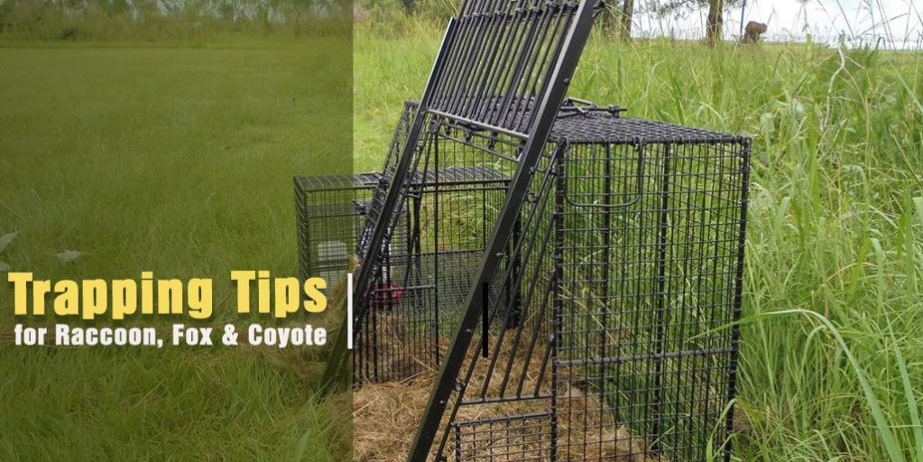 Trapping Tips for Raccoon, Fox and Coyote Hunting