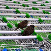 Birds Going Shopping
