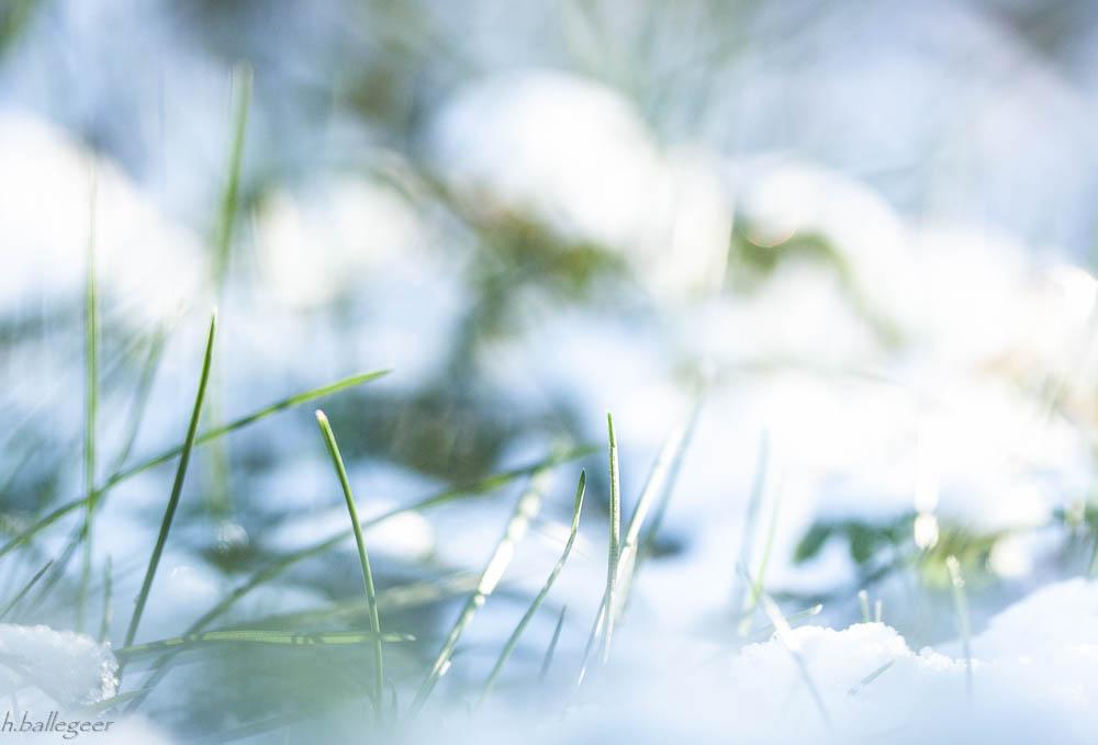 Gras unter Schnee