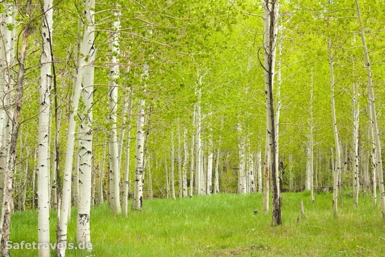 Knackig grüne Aspen Trees
