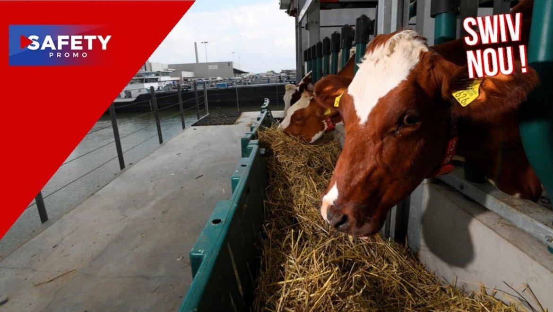 Insolite : les vaches flottent sur l'eau pour protéger le climat aux Pays-Bas